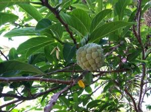 Atis Tree