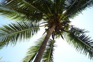 buko tree