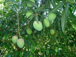 Mango Philippines